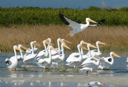 White Pelicans on Egmont Key